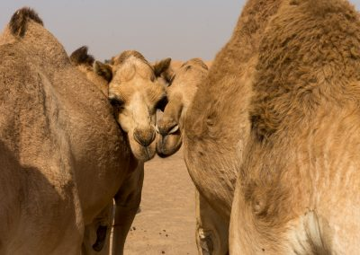 Sharjah - Wüstenkamele