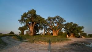 Baines Baobabs – Three Sisters
