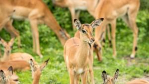 Impalas – Chobe