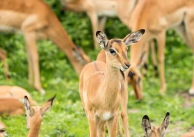 Impalas - Chobe