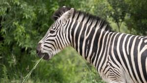 Zebra – entspannt