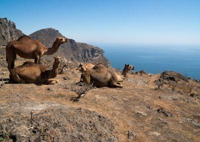 Dhofar Küstenkamele