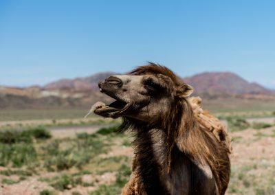 Kyrgyz Camels