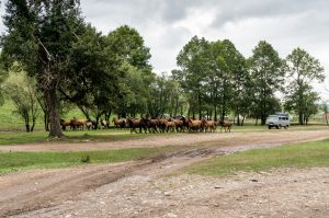 Terelj NP – Horses