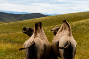 Camel In Uws Almag