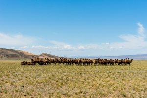 Gobi – Camels