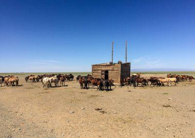 Gobi Horses