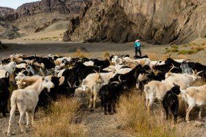 Gobi Shepherd