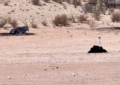 Ostrich And Oryx