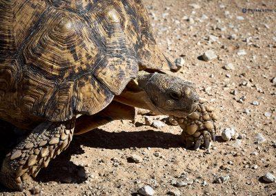 Le0pard Turtle