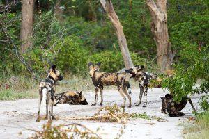 20190424 Wild Dogs In Moremi Botswana DSC0511