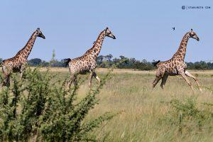 20190425 Giraffes Running Botswana DSC00011