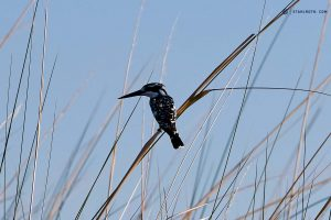 20190426 Bird In Okavango Delta Botswana DSC00032