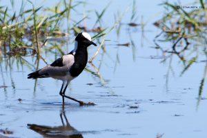 20190427 Bird In Okavango Delta Botswana DSC00108