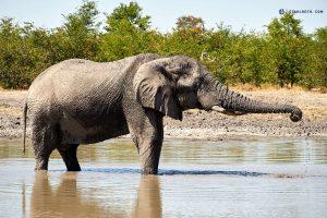 20190428 Elephant At Khwai Botswana DSC0899