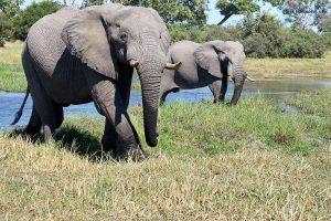 20190428 Elephants At Khwai Botswana DSC0800
