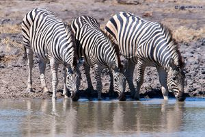 20190428 Zebras At Khwai Botswana DSC00156