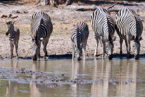 20190428 Zebras At Khwai Botswana DSC00170
