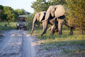 20190429 Elephants Crossing The Street Botswana DSC0961