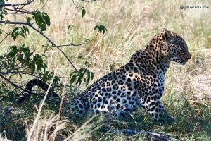 20190430 Lepard At Savuti Botswana DSC00379