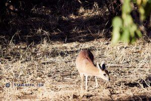 20190520 Kruger NP Dik Dik South Africa DSC1489