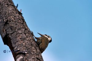 20190522 Kruger NP Kingfisher South Africa DSC01045