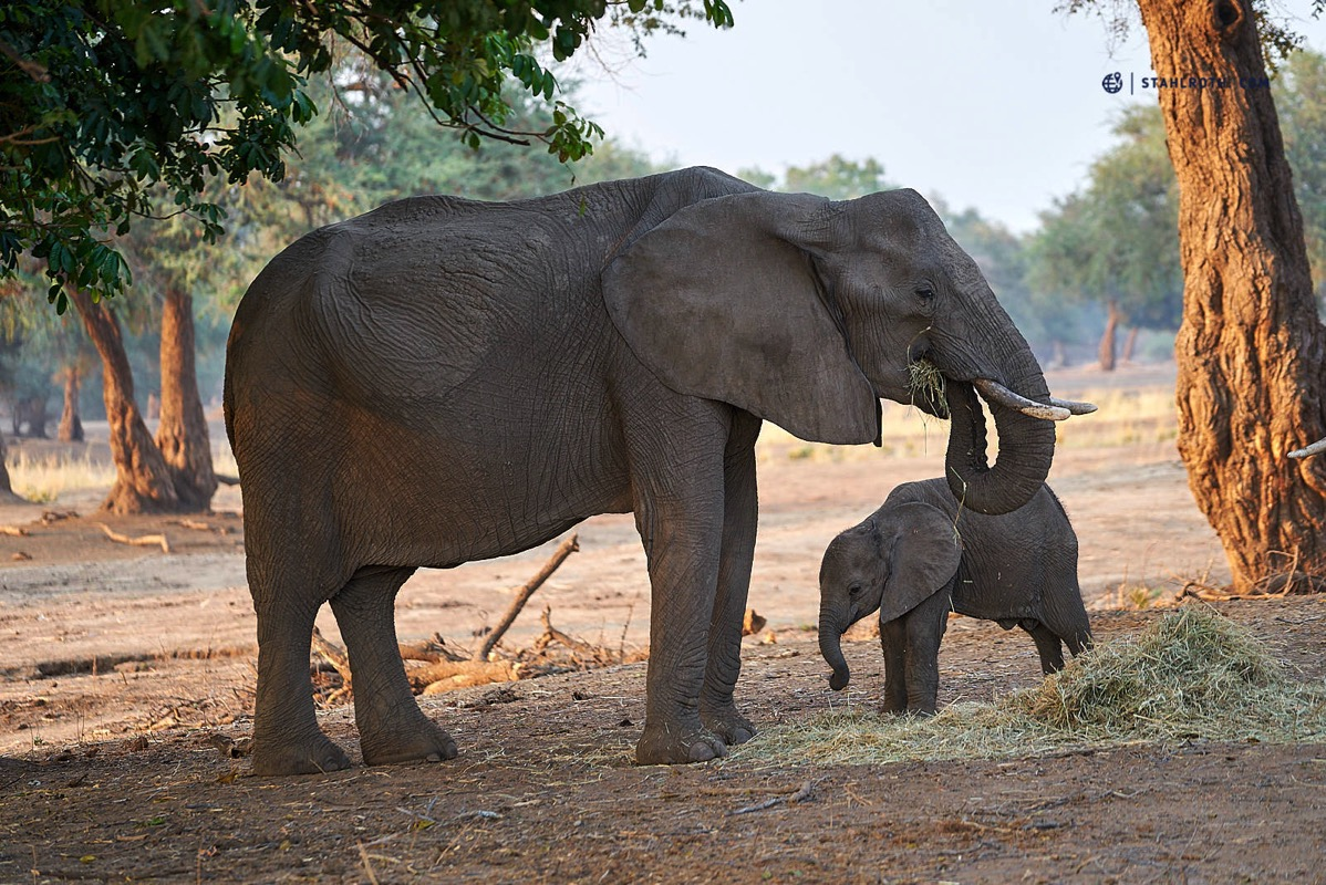 20191008 Mana Pools Elephant Feeding Simbabwe DSC3076