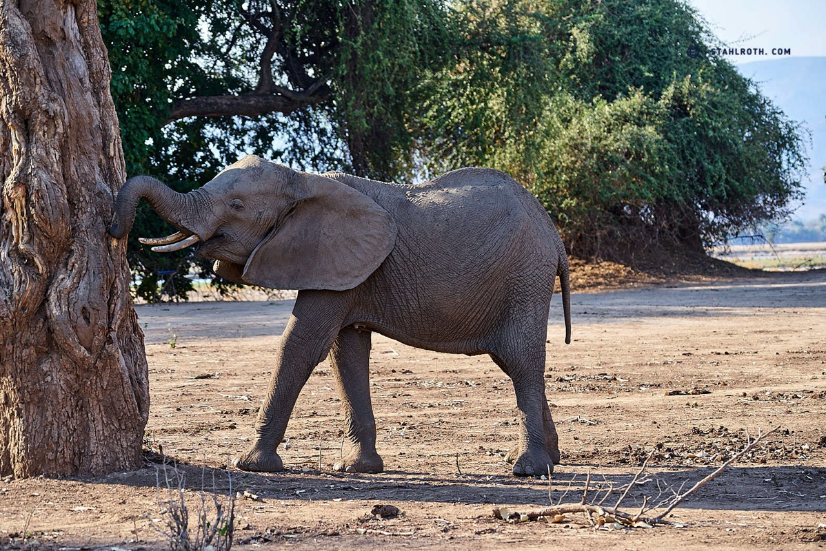 20191008 Mana Pools Elephant eats bark Simbabwe DSC3100