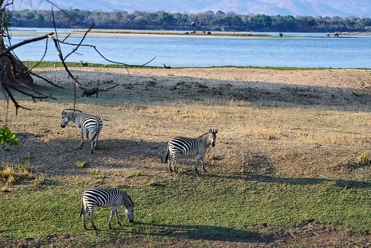 20191008 Mana Pools Zebras Simbabwe DSC3104