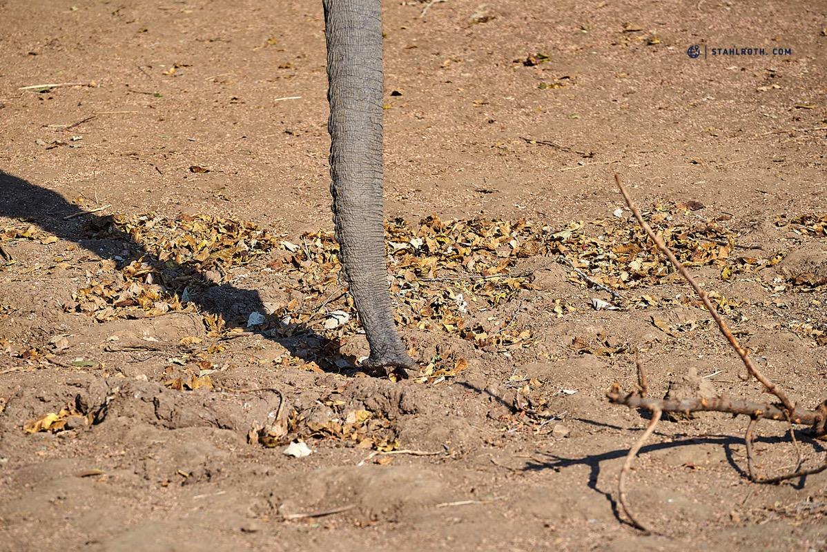 20191009 Mana Pools Elephant eating dry leaves Simbabwe DSC3183