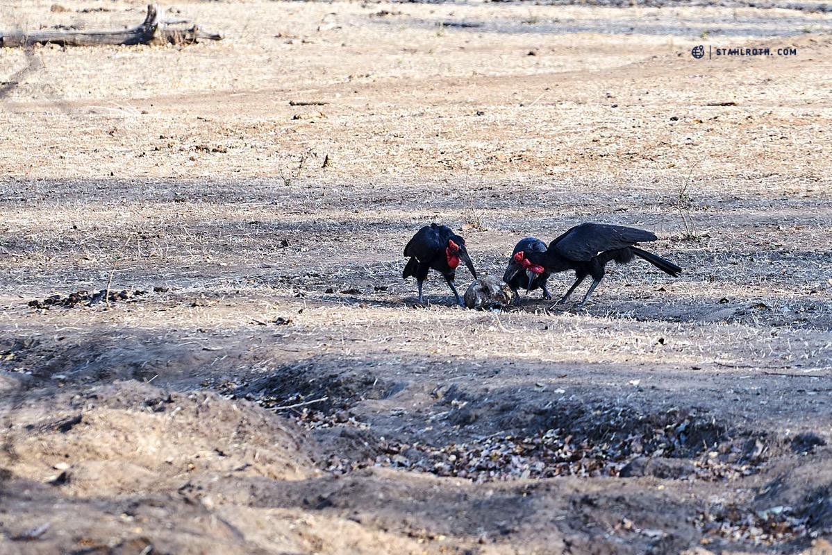 20191009 Mana Pools Ground Hornbill Simbabwe DSC3147